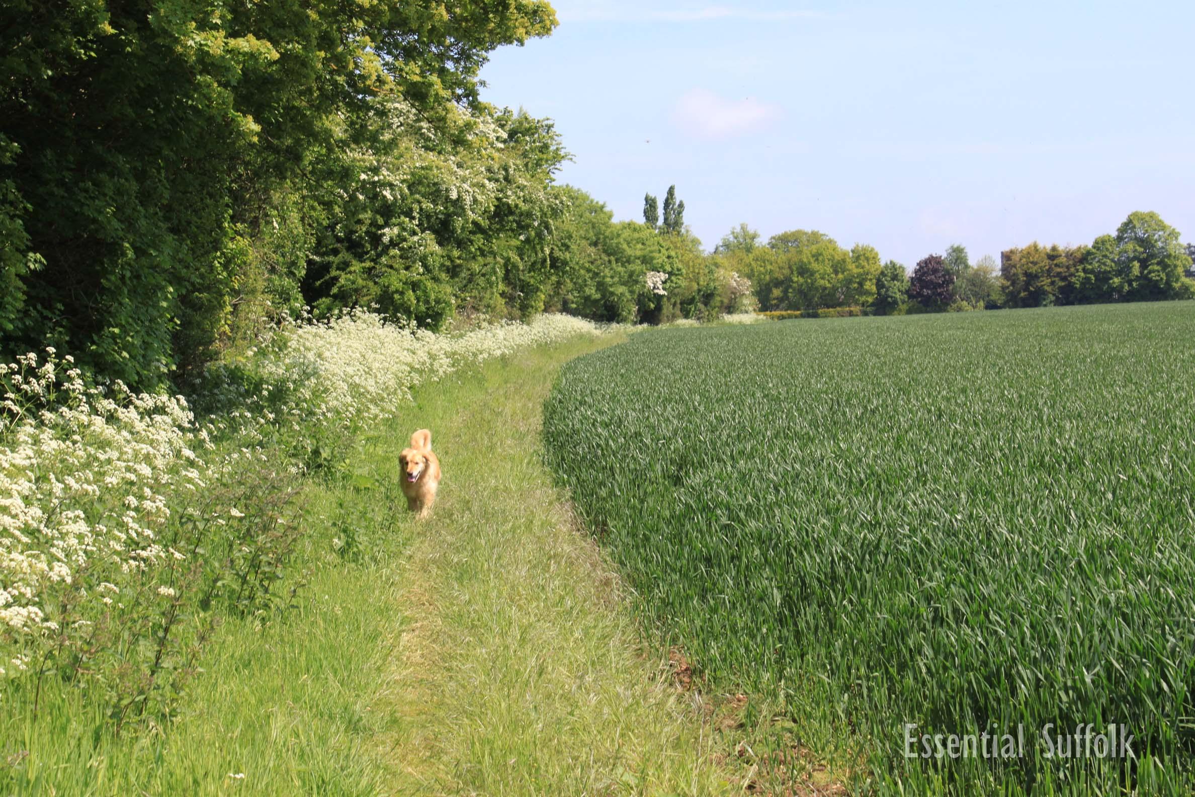 Pettistree Dog Walk11.jpg