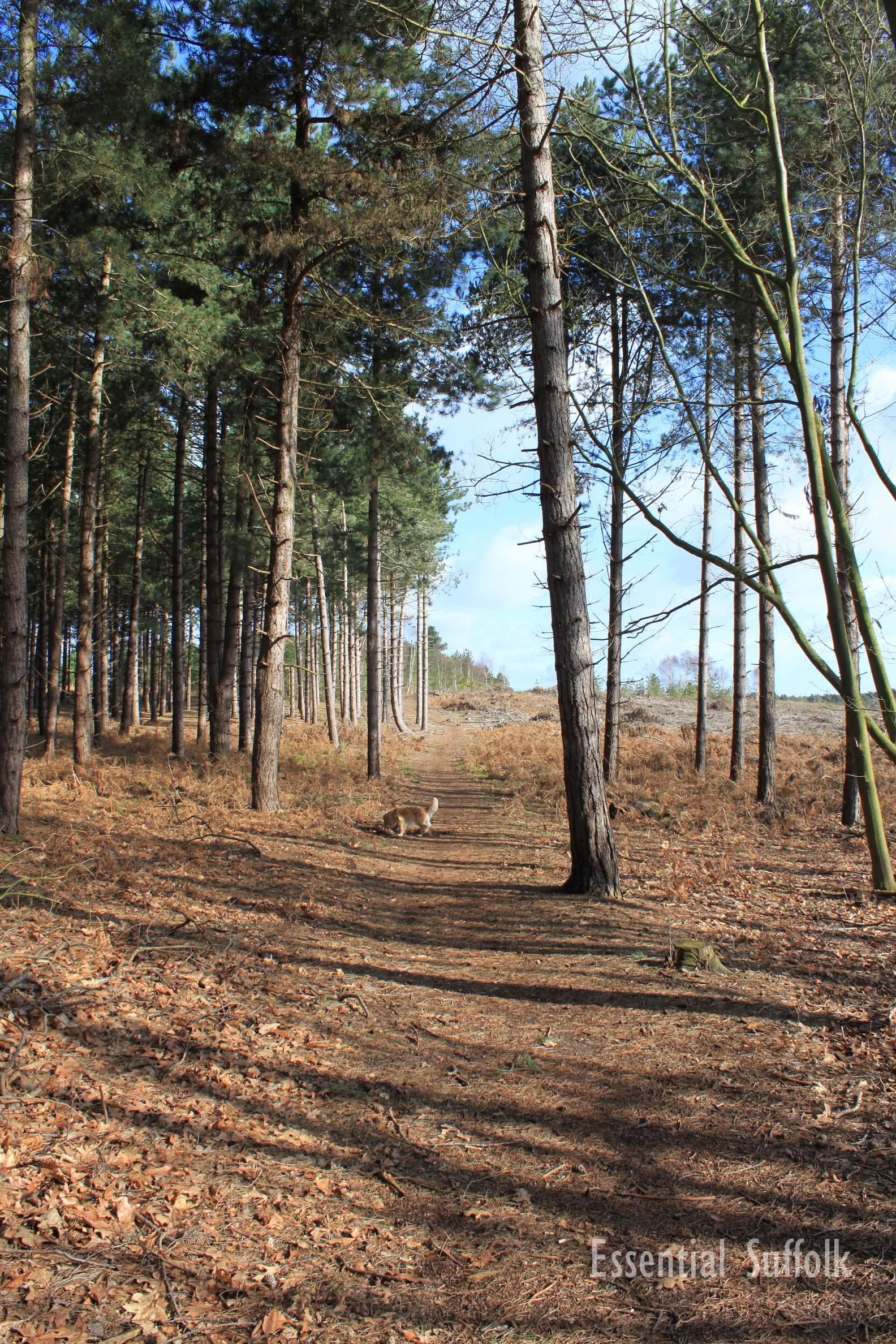 Westleton Dog Walk 1 02.jpg