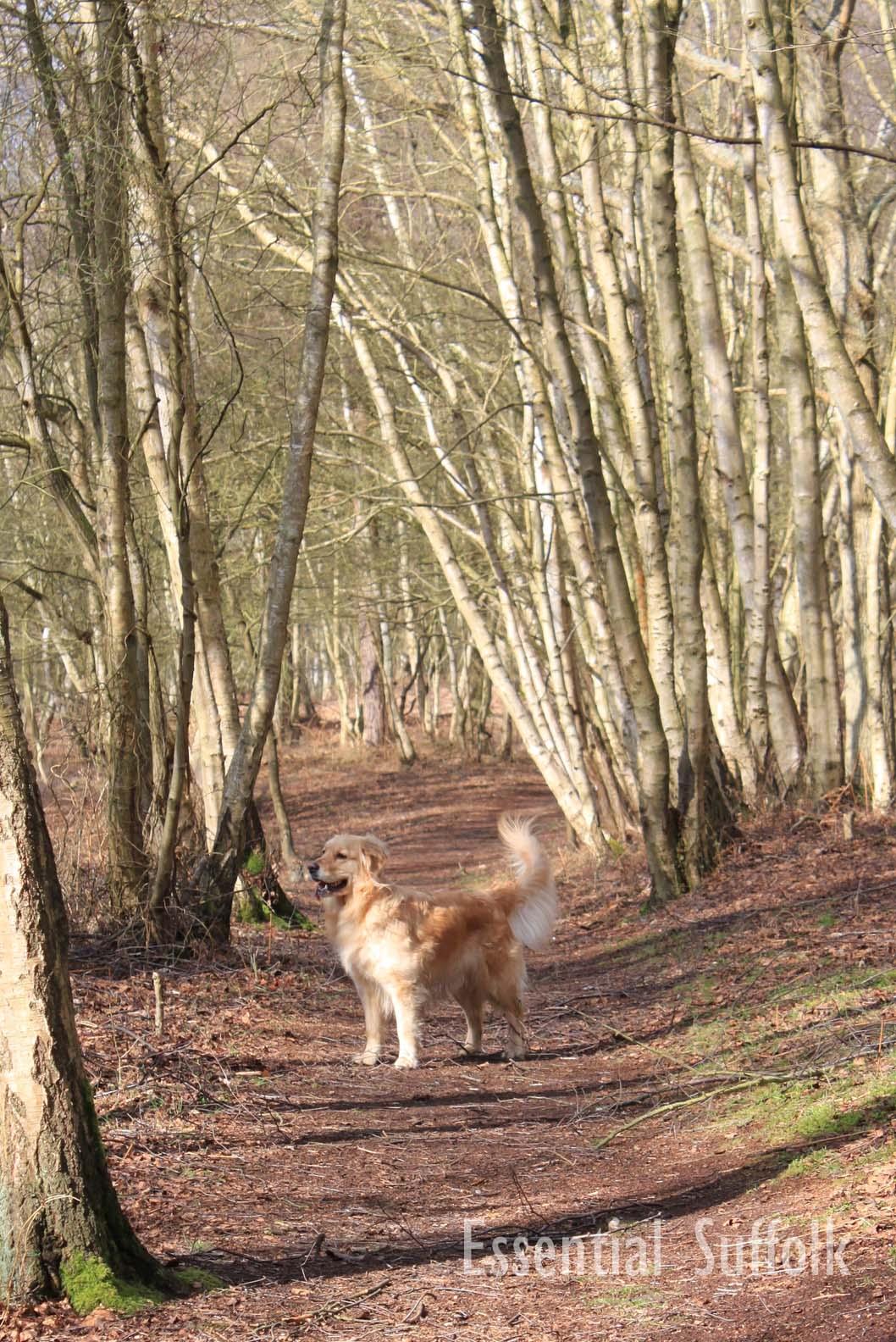 Westleton Dog Walk 1 16.jpg