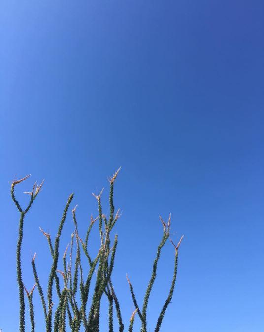 #blueskies  #fouquieriasplendens   #ocotillo   #desertcoral   #anzaborrego   #borregosprings   #desert   #galletameadows   #wildflowers   #desertwildflowers