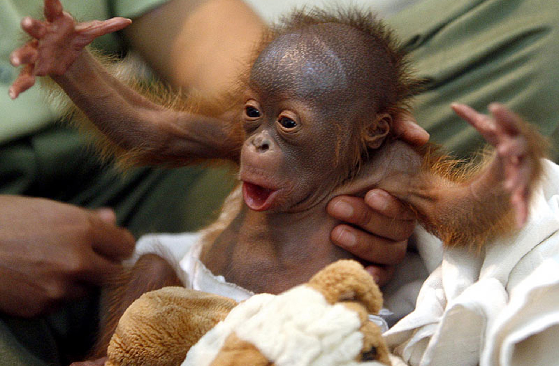 Orangutan-WL.jpg