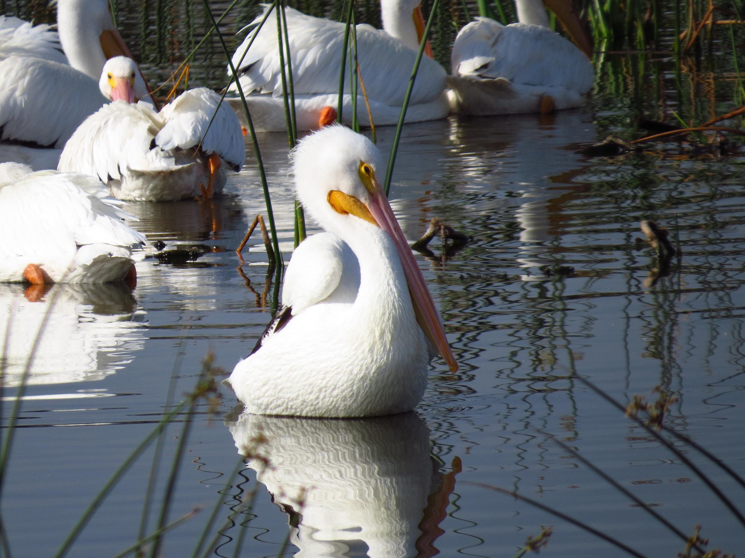 """Swan Impersonator"""