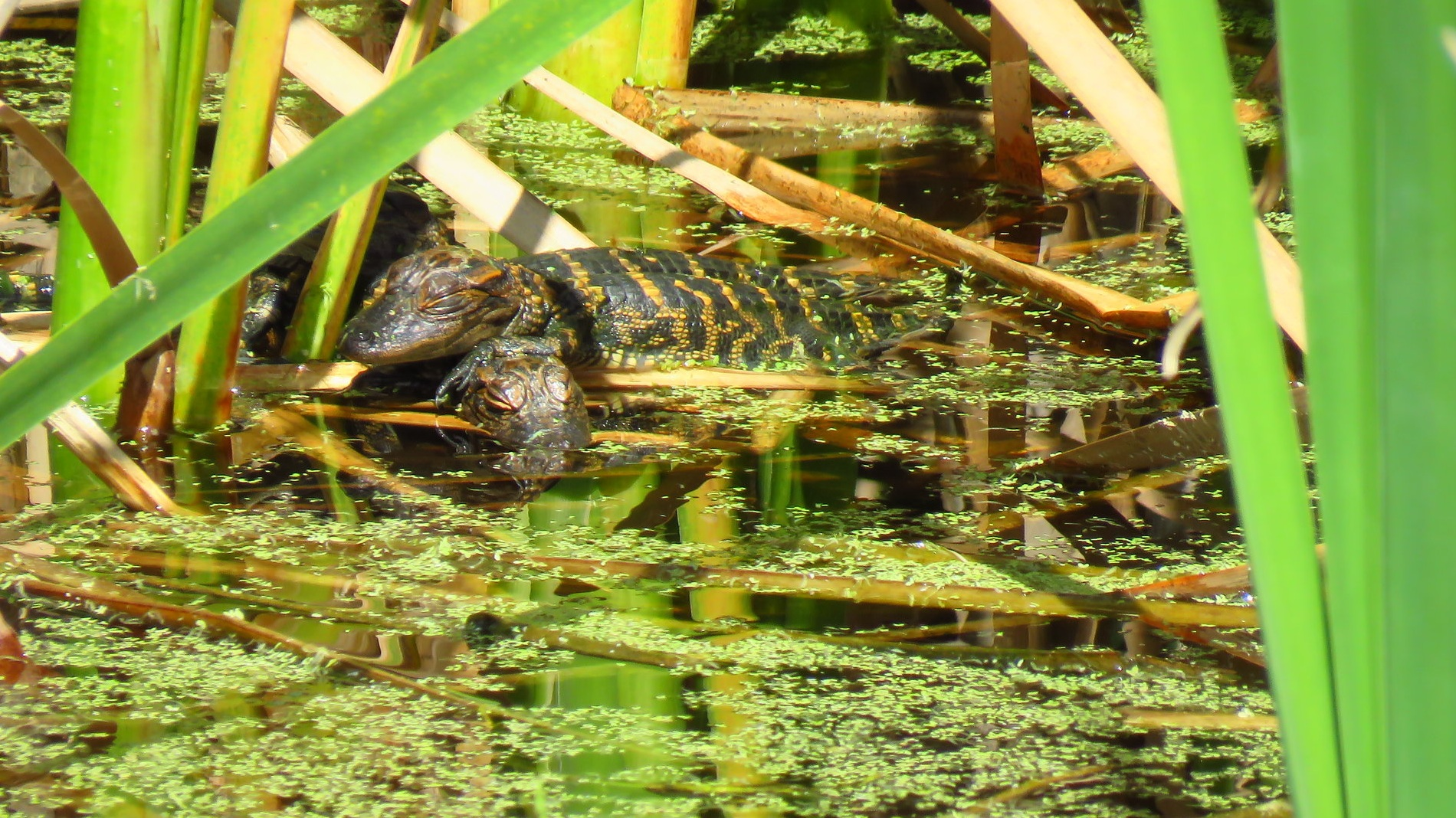 Recently hatched alligators at Viera Wetland, Viera, FL