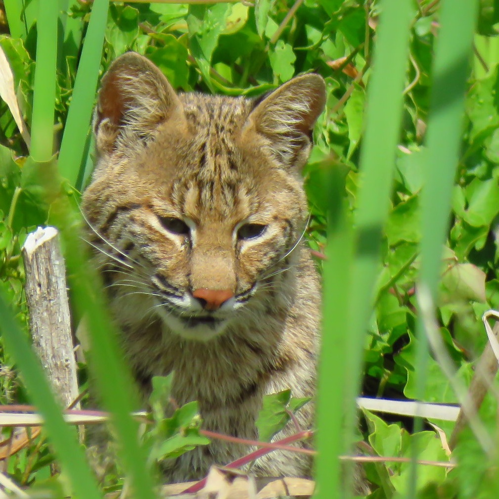 Bobcat birdhunting at the Wetlands