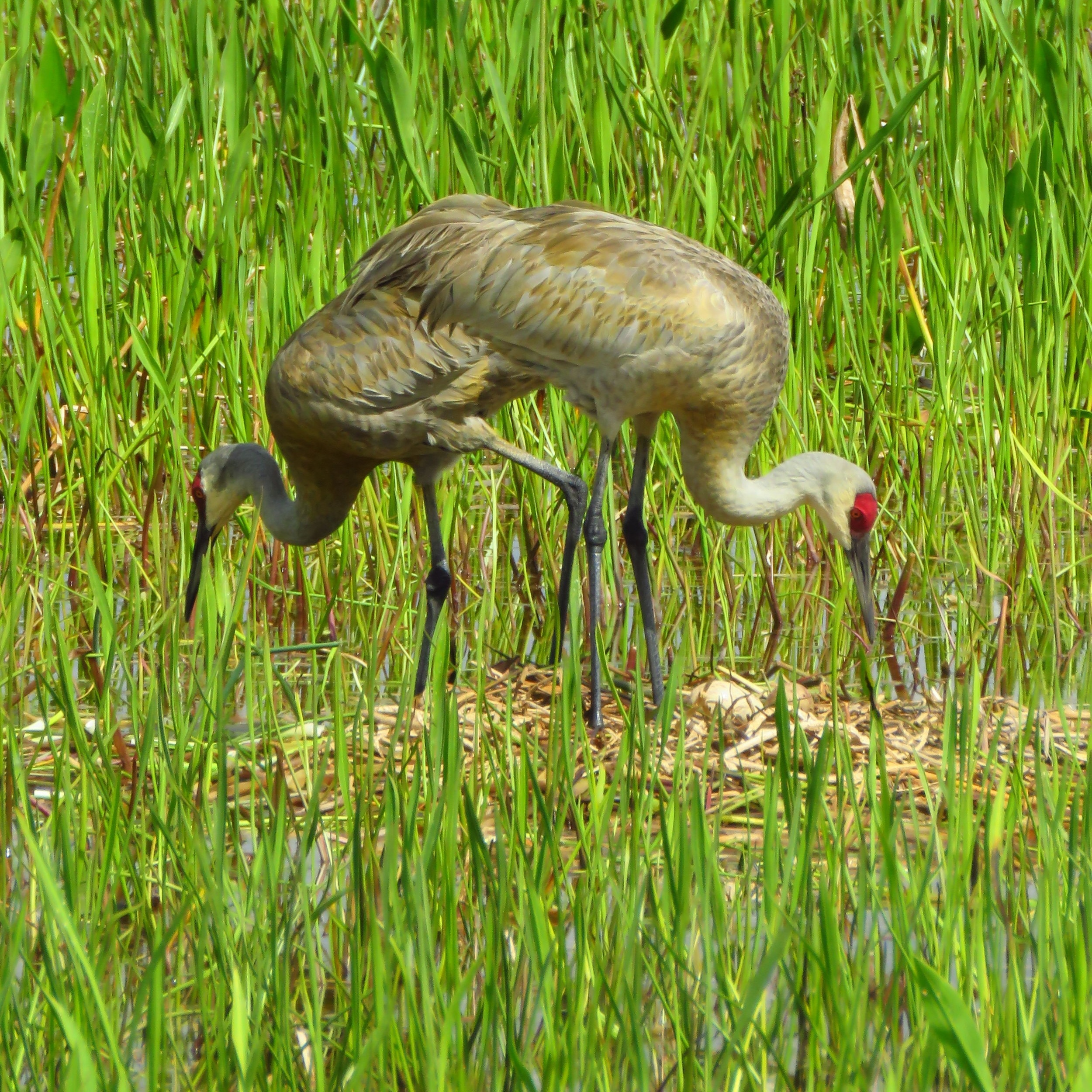 Sandhill cranes tending eggs in the nest