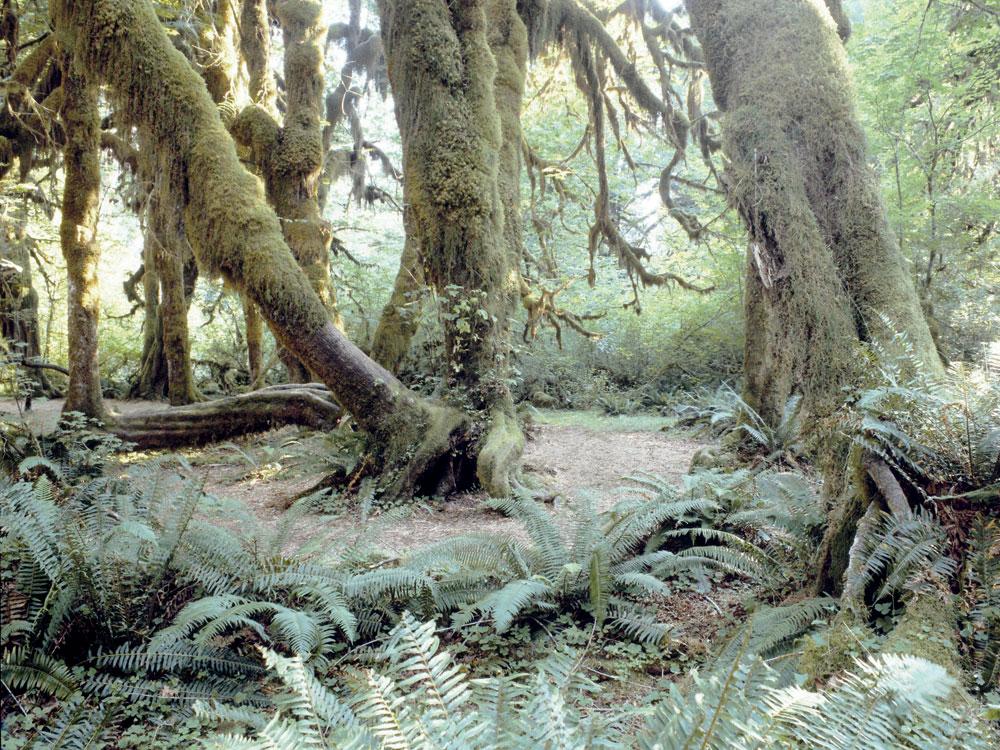 Quinault-Rainforest-LoRes.jpg