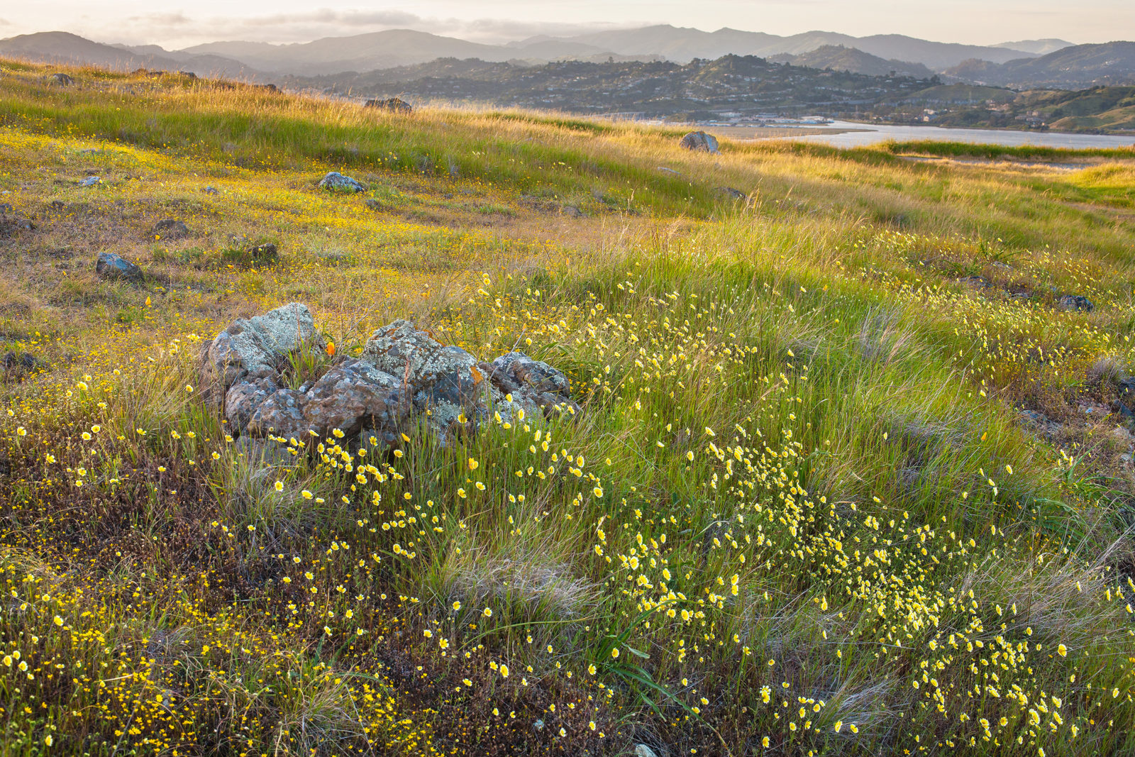 "Tidy tips blooming in the foreground with Corte Madera houses in the background. From the ""Beauty and the Beast: California Wildflowers and Climate Change"" project. (Photo by Rob Badger, 2009)"
