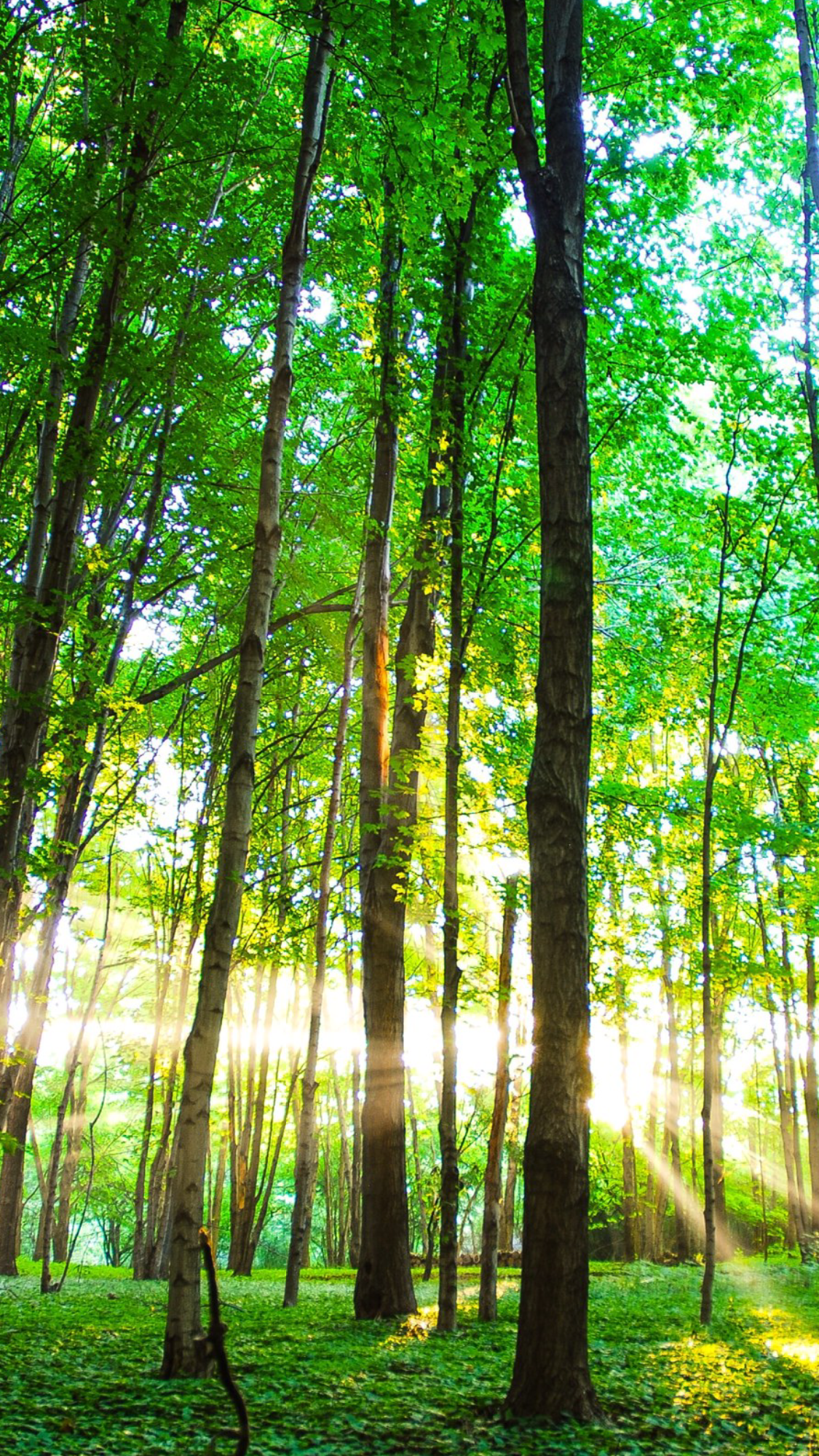 Forest Morning. Free Wallpaper