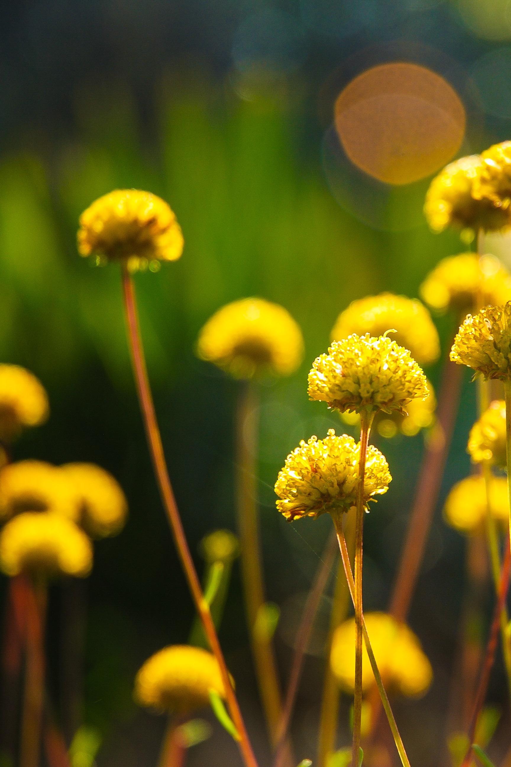 Sun Flowers, Free Wallpaper