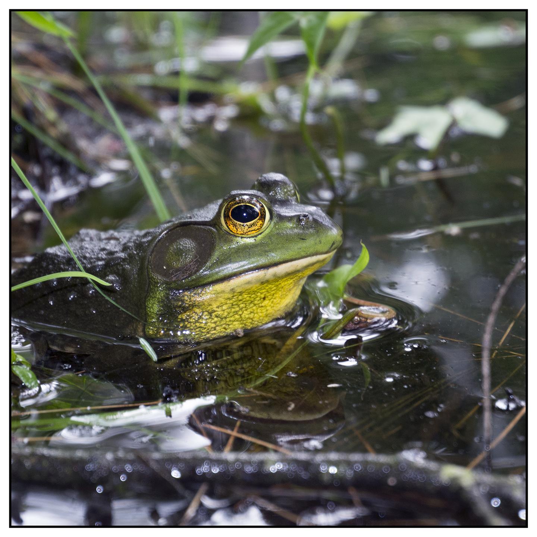 Pawtuckaway Frog