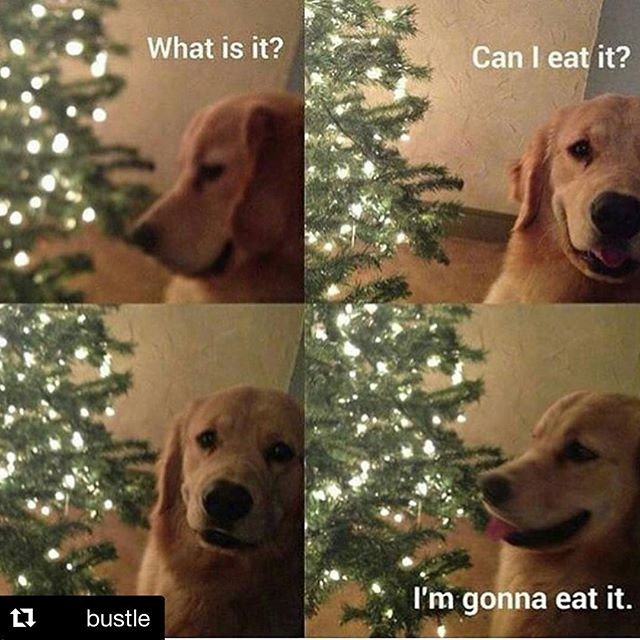 @bustle and @hilarioushumanitarian  understand that you can eat whatever you like. Whether it's fruitcake or trees, no shame #guiltfree #fruitcake #christmas #christmastree #noshame #shameless #holidays #dogs #dogsofinsta #goldenretriever #goldenretrieversofinstagram #honoryourhunger #hungry #repost
