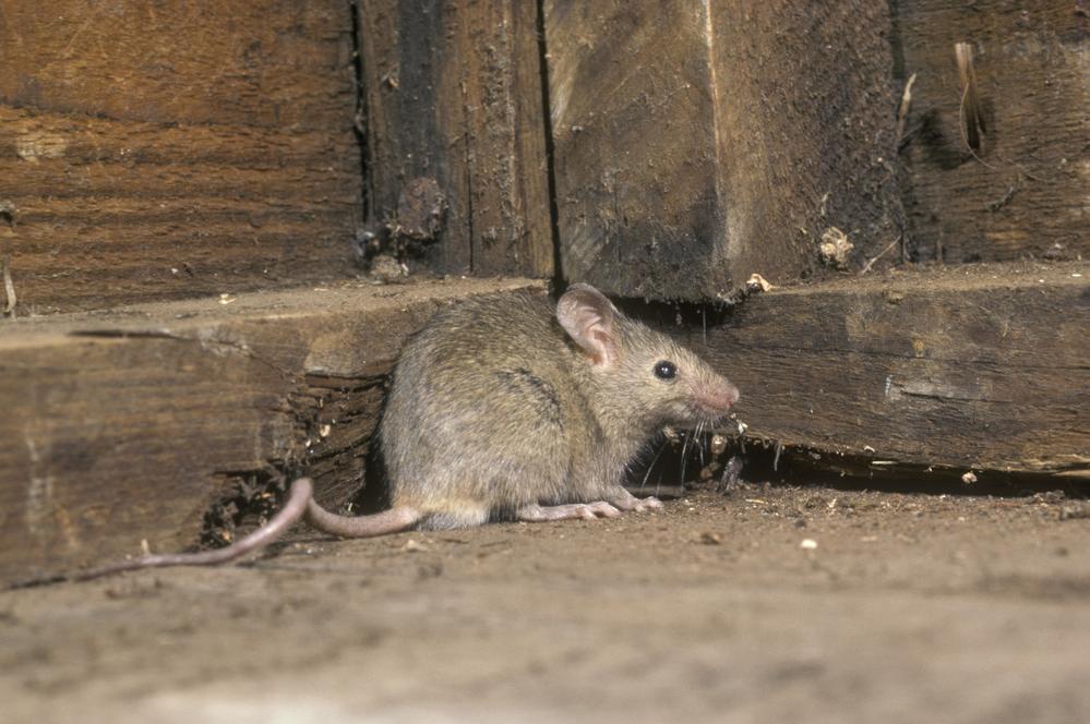 rat in an attic
