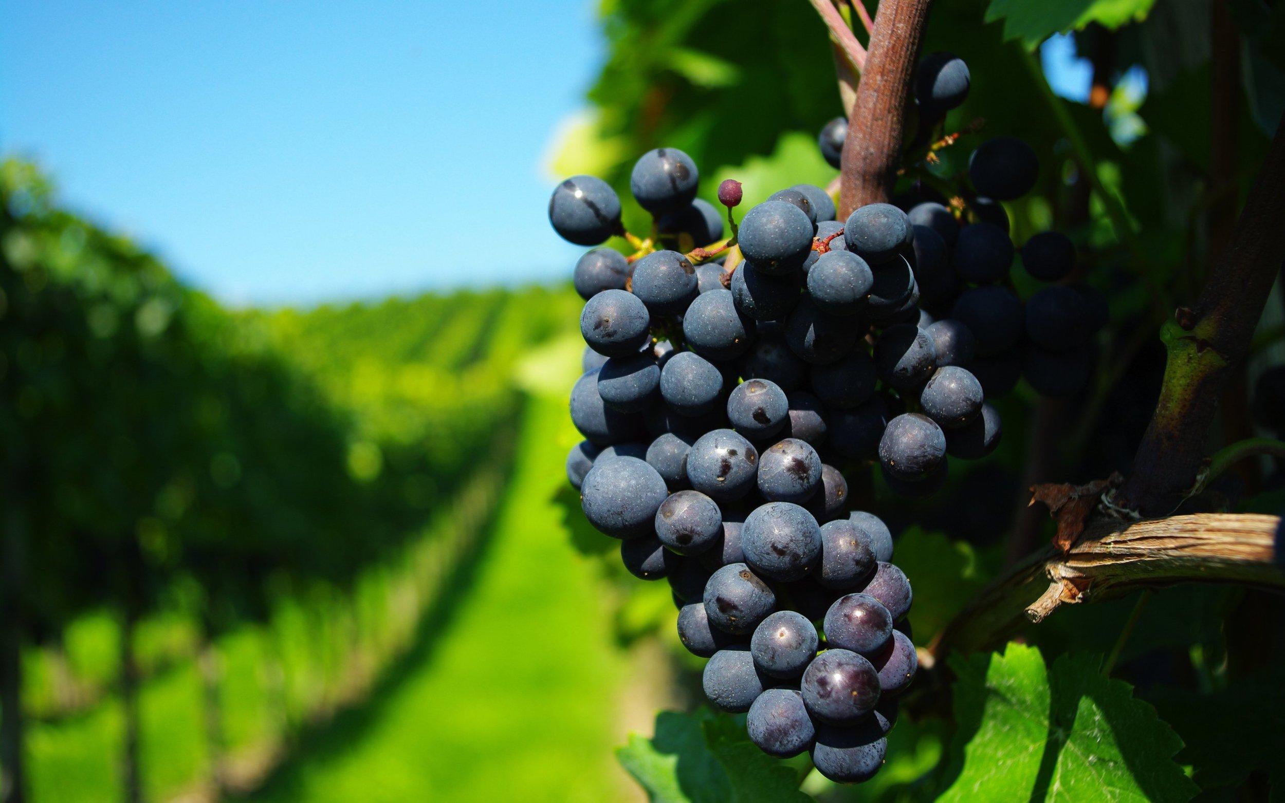 grape_vineyard-wide.jpg
