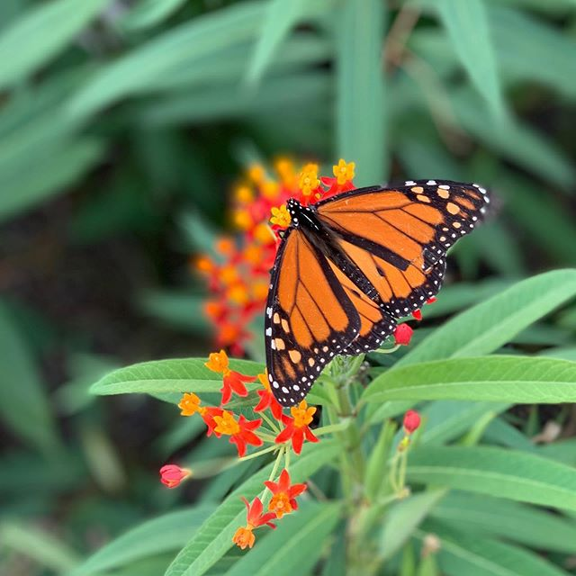 I love monarch migration season