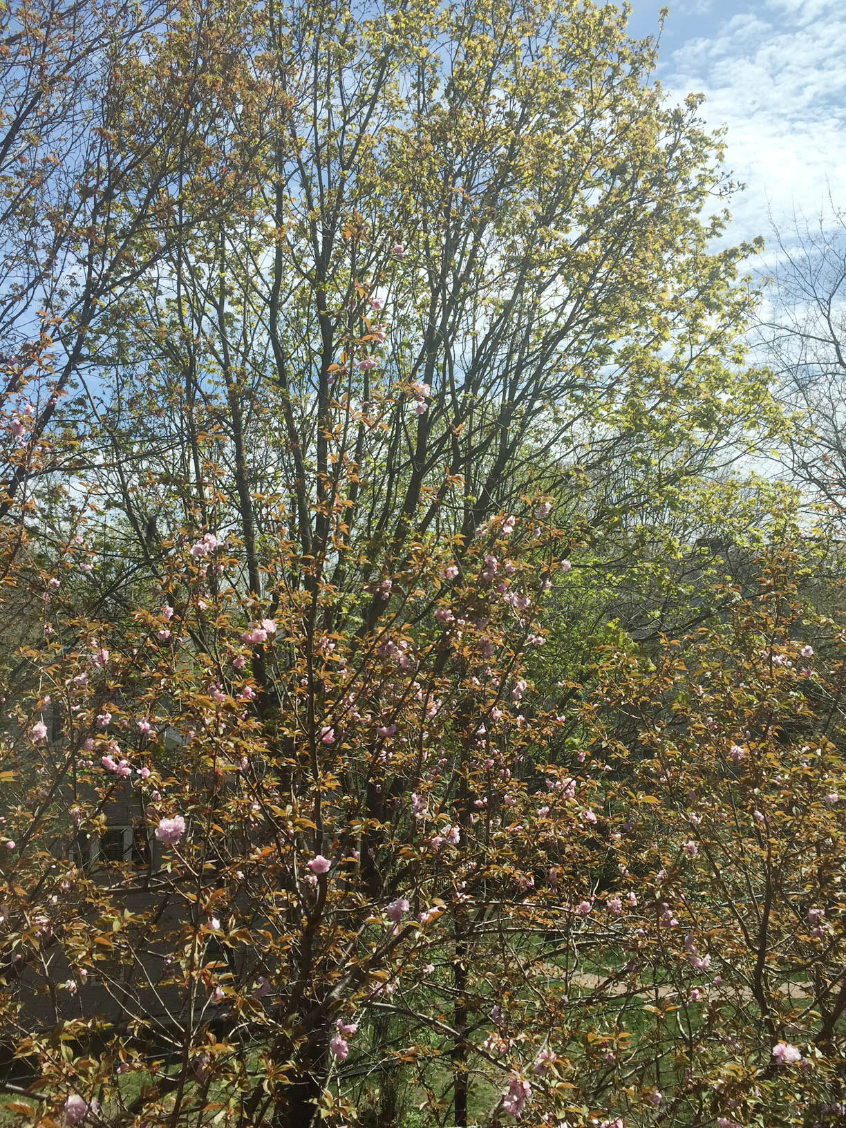 Pink blossoms started popping on the tree outside my window today!