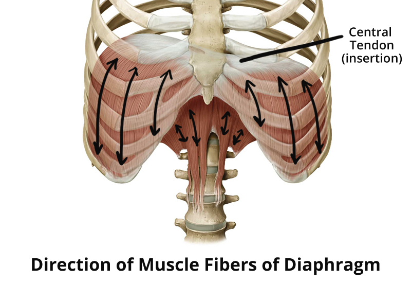 diaphragm-muscle-fibers