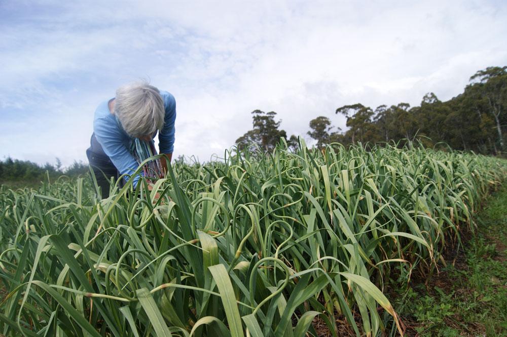 libby-in-the-garlic-field-morganics-farm.jpg