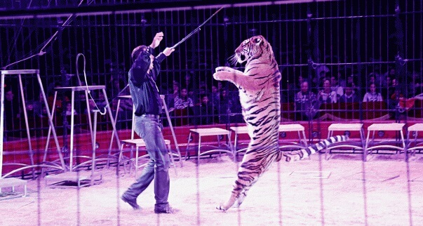 circus-tiger-standing-up-on-back-legs-1.jpg
