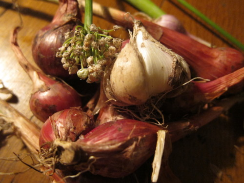 Oh, just showing off somebody's homegrown garlic & shallots…