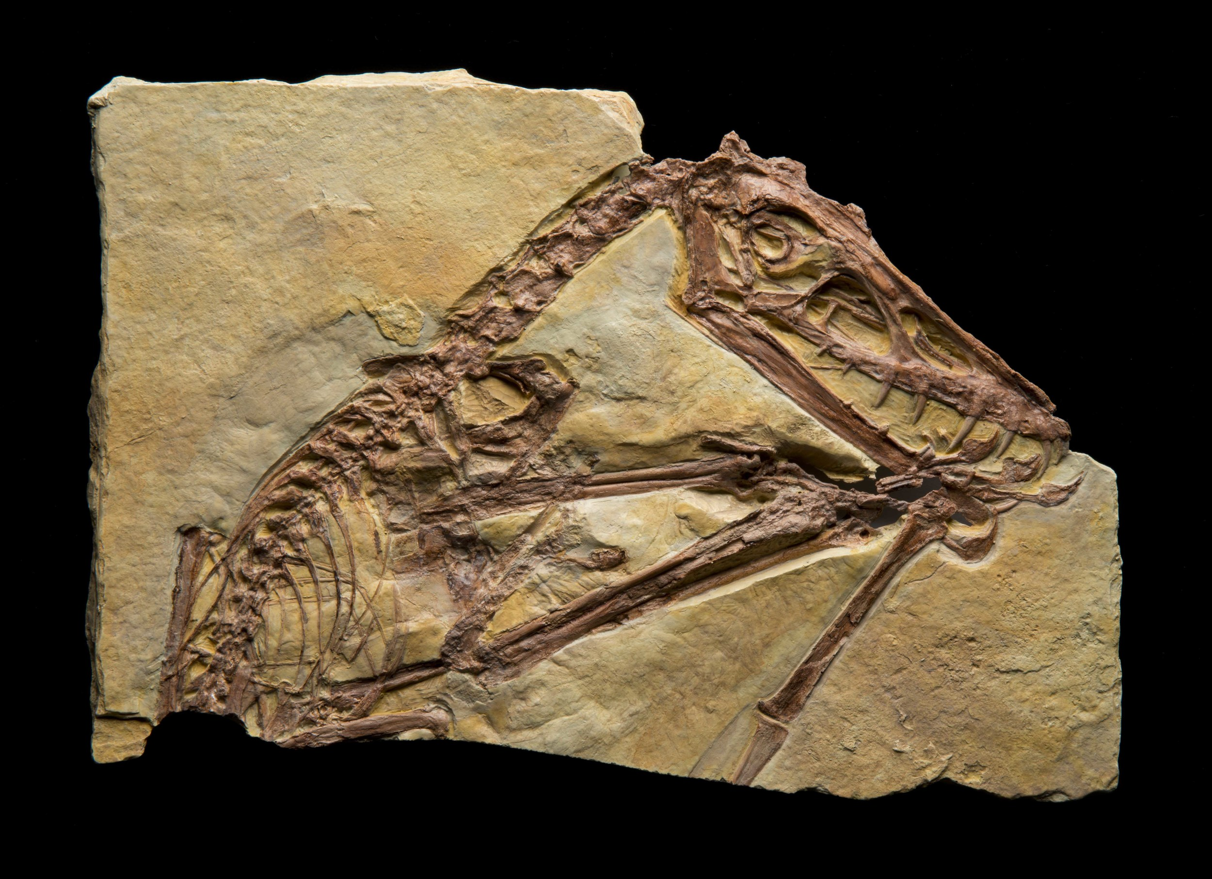 Pterosaurs scaphognathus, feeding, Pterosaur Exhibit