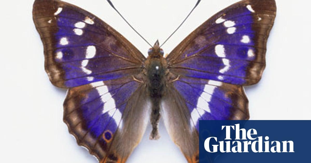 purple-emperor-butterfly-006.jpg