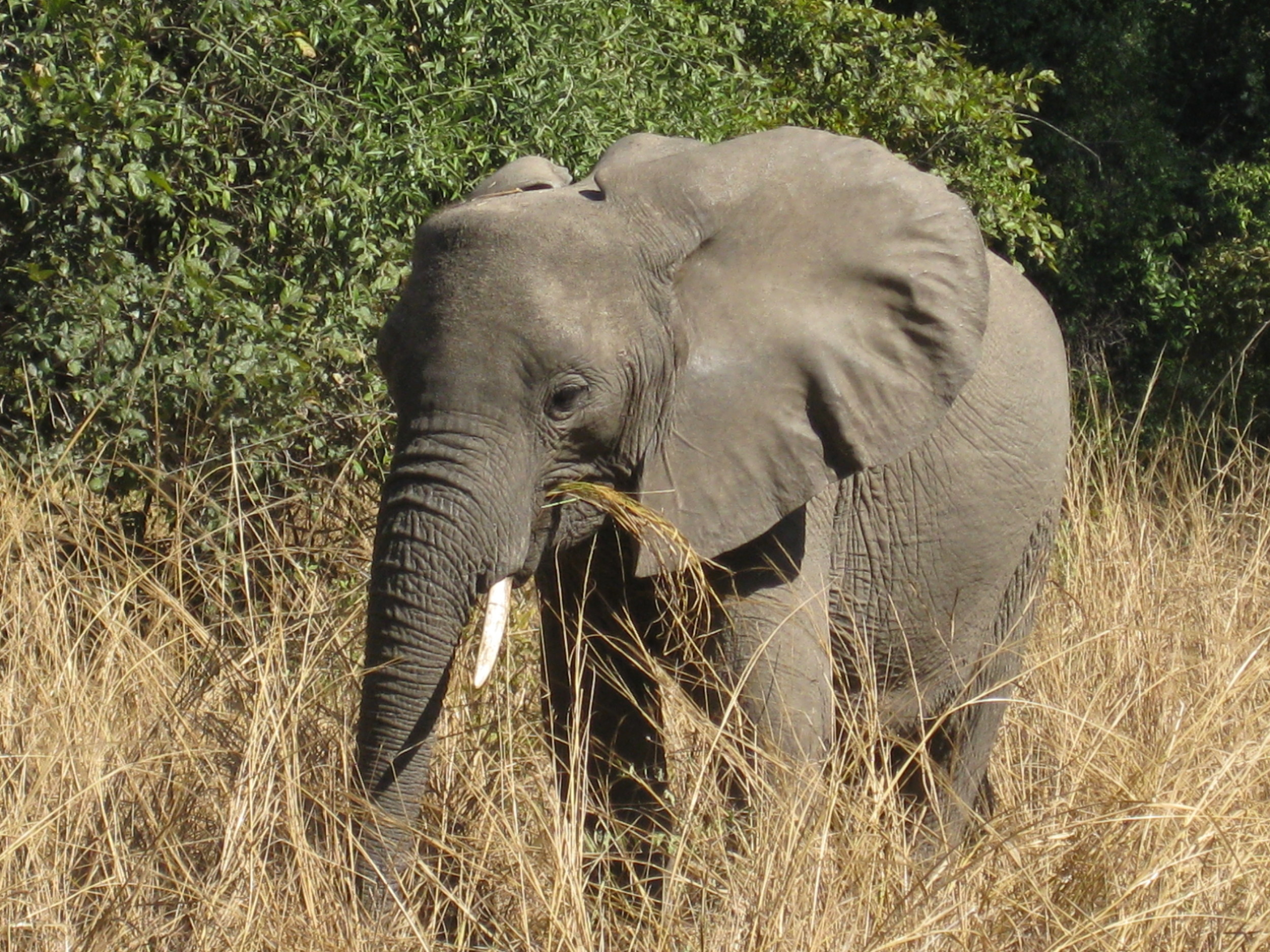 Afternoon snack? One of the many glorious ellies tromping through Zambia's South Luangwa National Park.