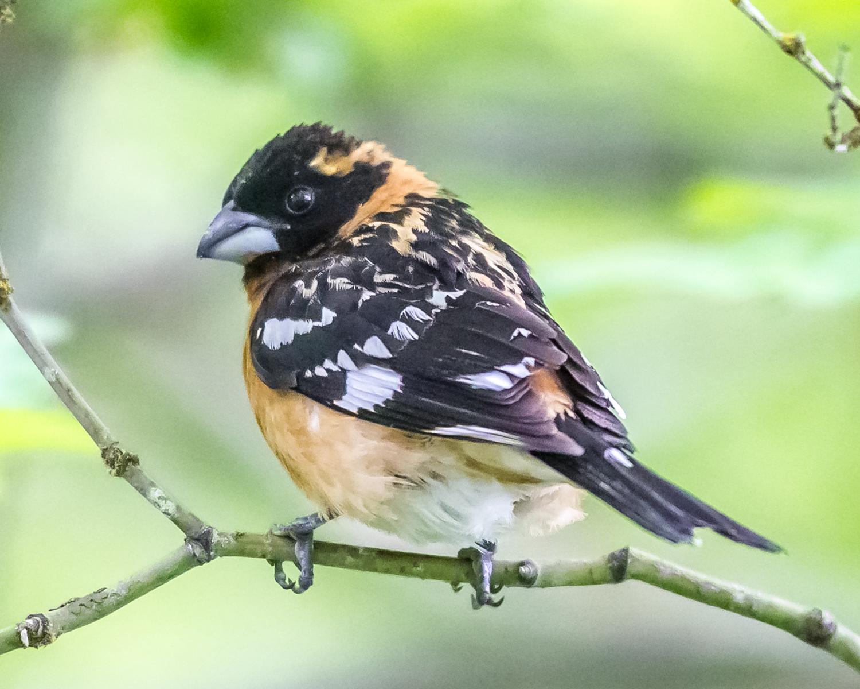 Pheucticus-melanocephalus-(Black-headed-Grosbeak,-Cardinal-à-tête-noire)-male-2.png