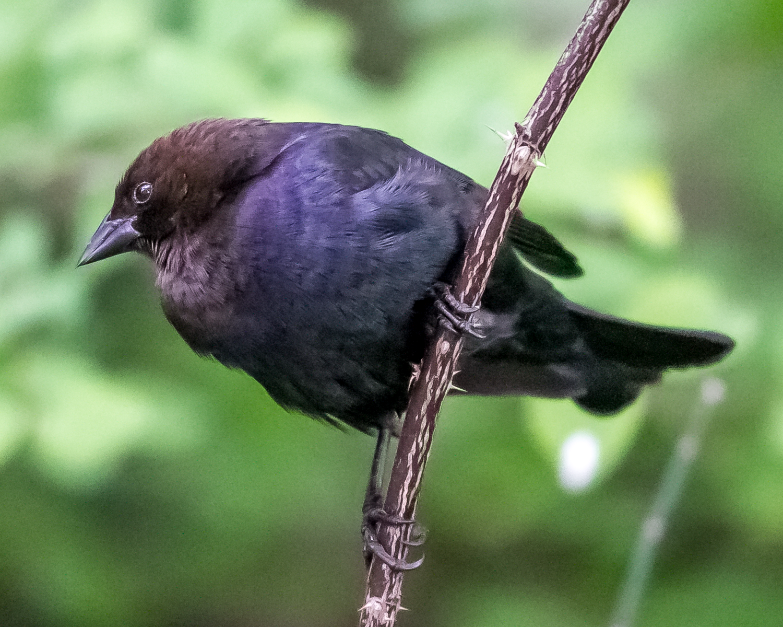 Molothrus-ater-(Brown-headed-Cowbird,-Vacher-à-tête-brune)-2.png
