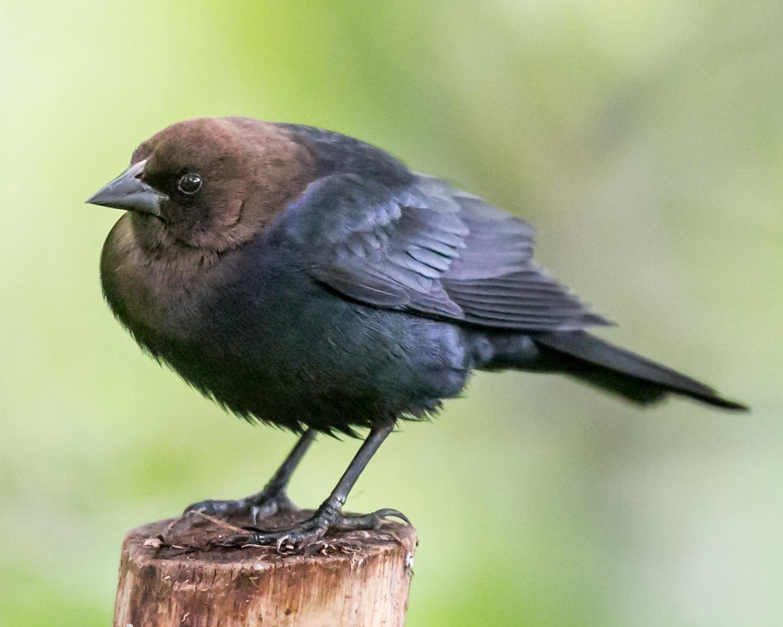 Molothrus-ater-(Brown-headed-Cowbird,-Vacher-à-tête-brune)-1.png
