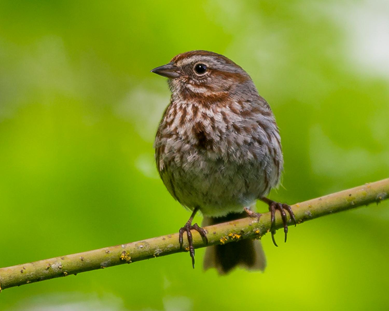 Melospiza-melodia-(Song-Sparrow,-Bruant-chanteur)-1.png