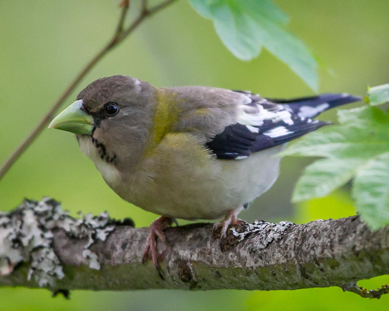 Coccothraustes-vespertinus-(Evening-Grosbeak,-Gros-bec-errant)-female-1.png