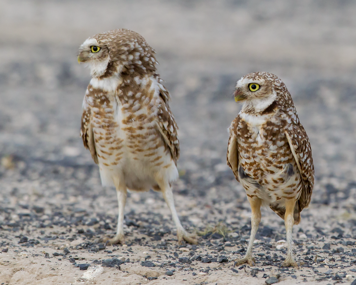Athene-cunicularia-(Burrowing-Owl,-Chevêche-des-terriers)-male(left)-female(right).png