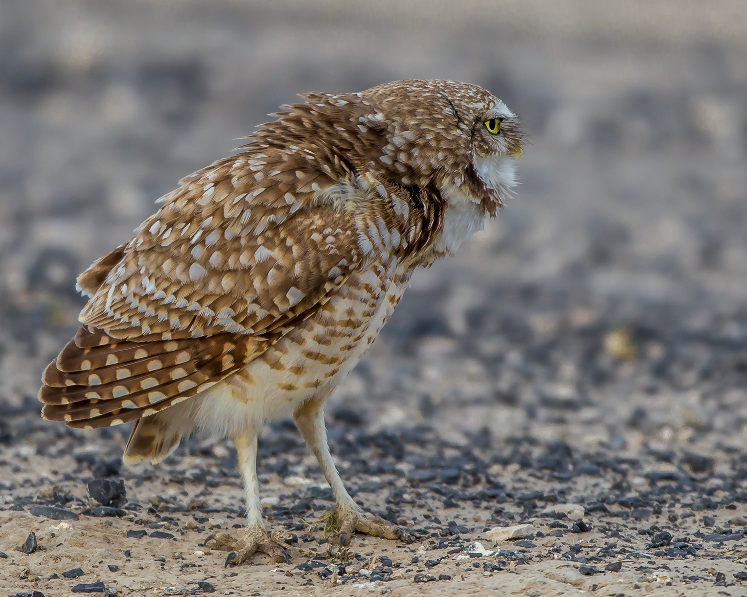 Athene-cunicularia-(Burrowing-Owl,-Chevêche-des-terriers)-male-mating-dance.png
