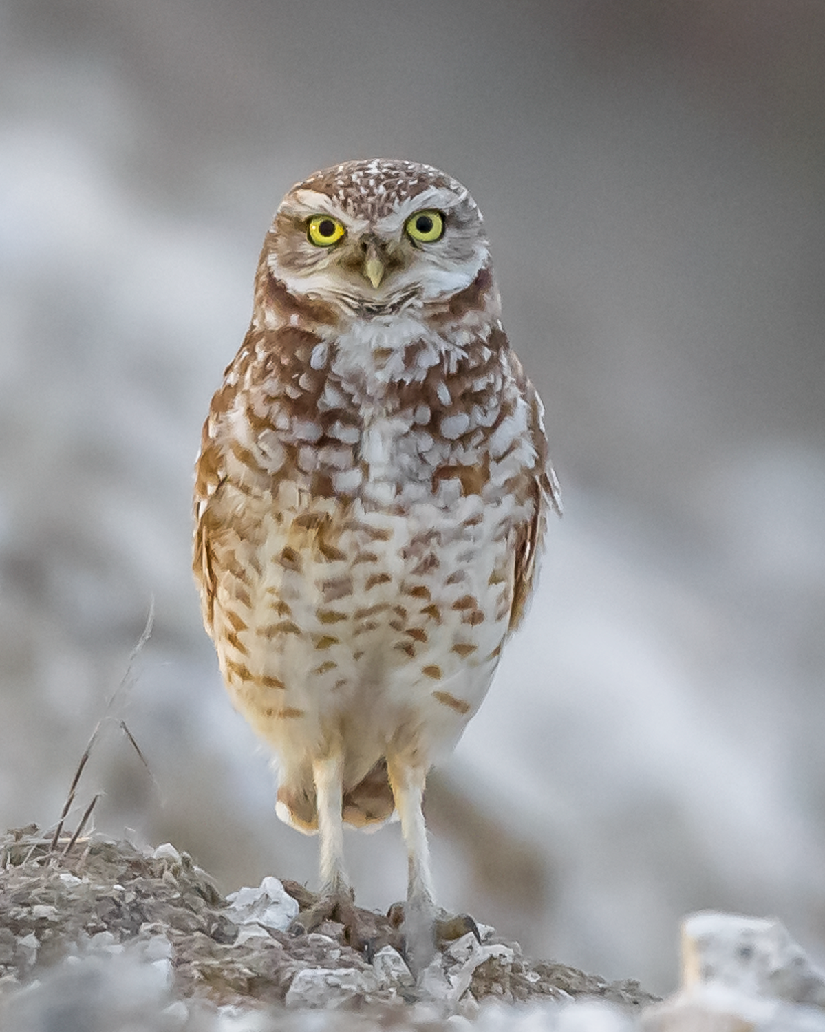 Athene-cunicularia-(Burrowing-Owl,-Chevêche-des-terriers).png