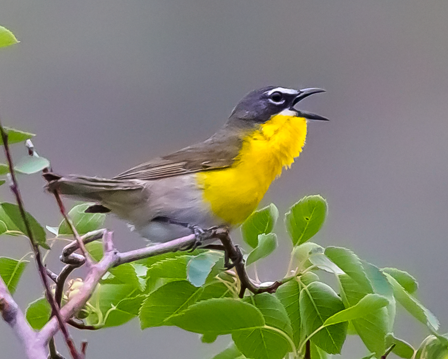 Icteria virens (Yellow-breasted Chat, Paruline polyglotte) - male-3.png