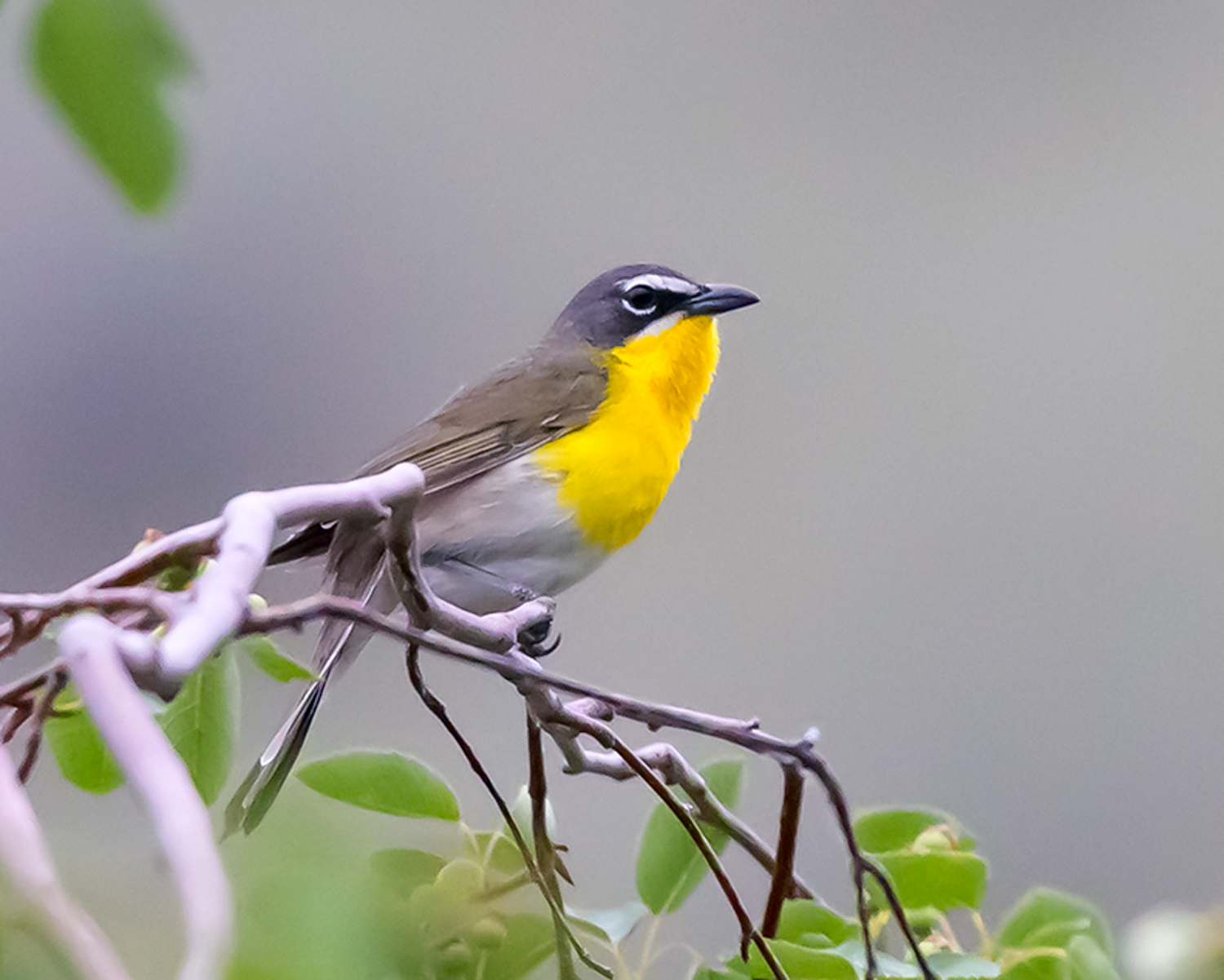 Icteria virens (Yellow-breasted Chat, Paruline polyglotte) - male-4.png