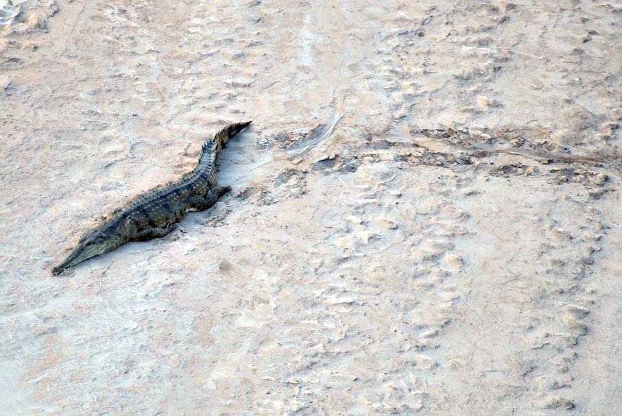 Crocodile, the Kimberley, WA