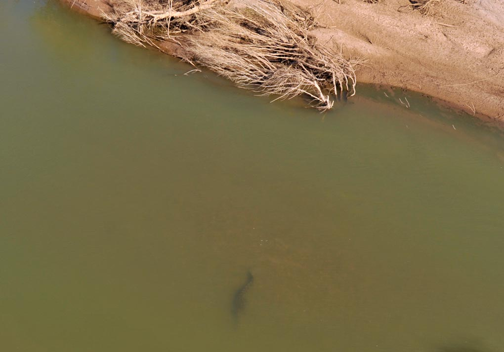 Croc beneath the water, Ord River