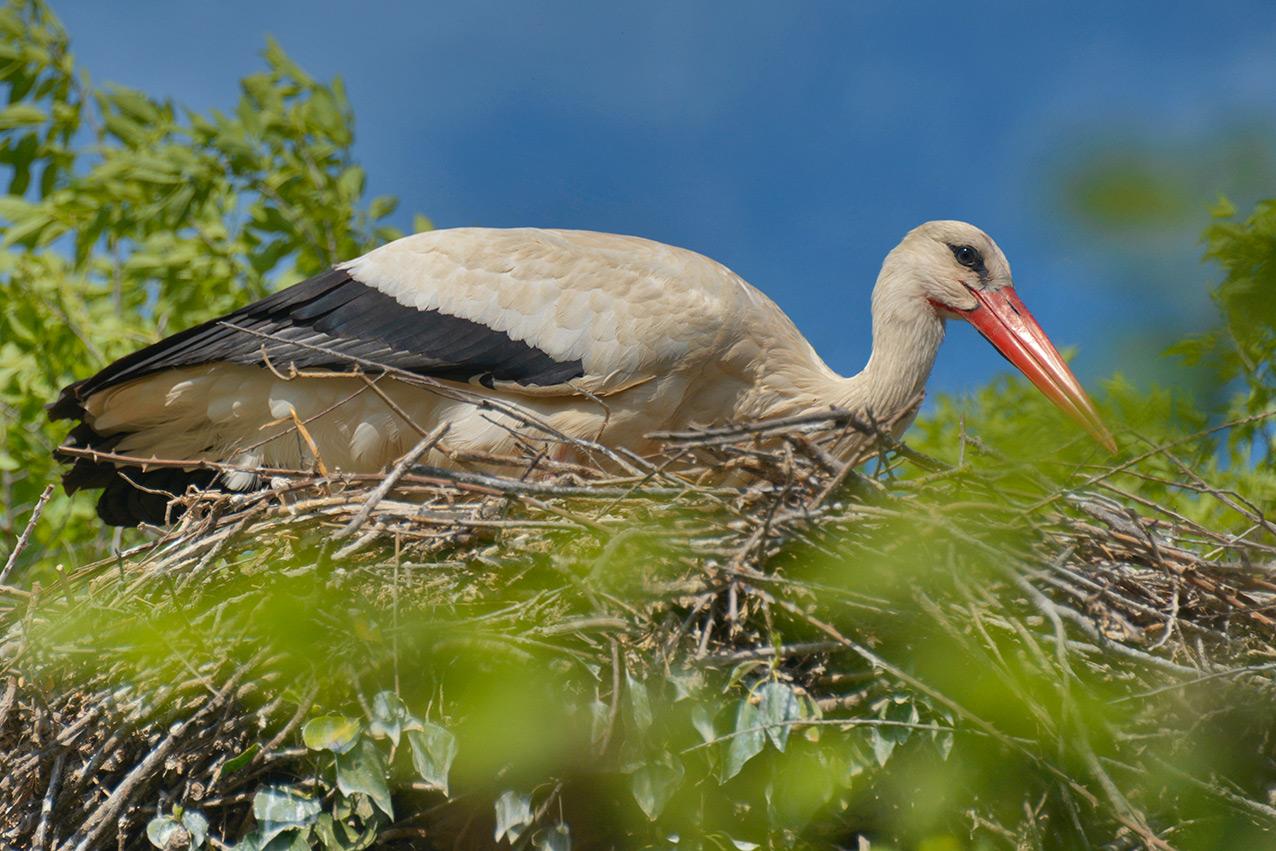 Nesting Stork in The Parc Natural dels Aiguamolls de l'Empordà