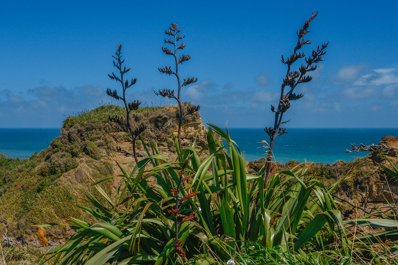 Typical North Island scene with Flax