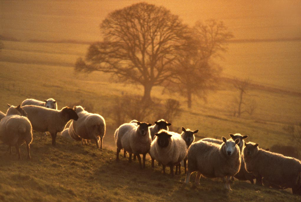 Sunset over sheep, Somerset.