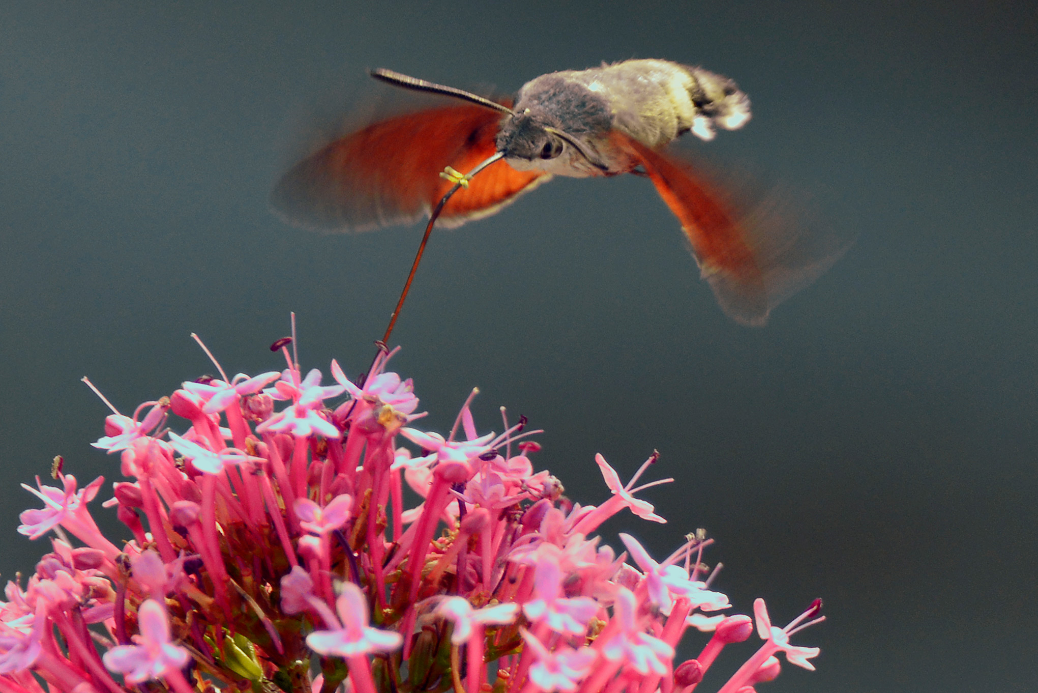 The ever-present Hummingbird Hawk Moth at work on the Red Velarians