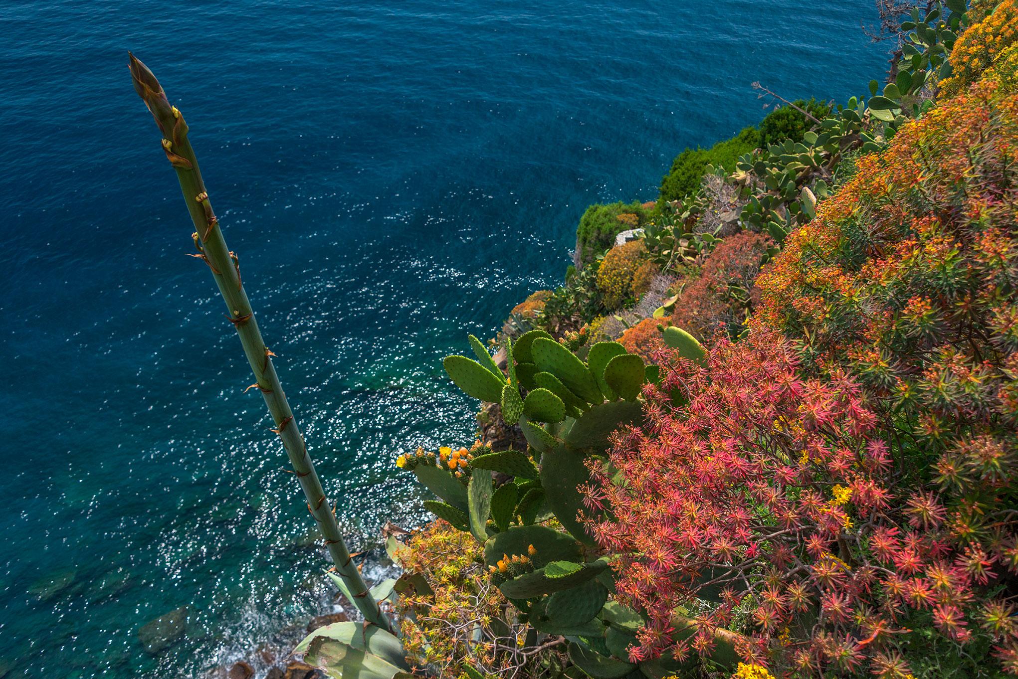 Typical coastal flora at Corniglia