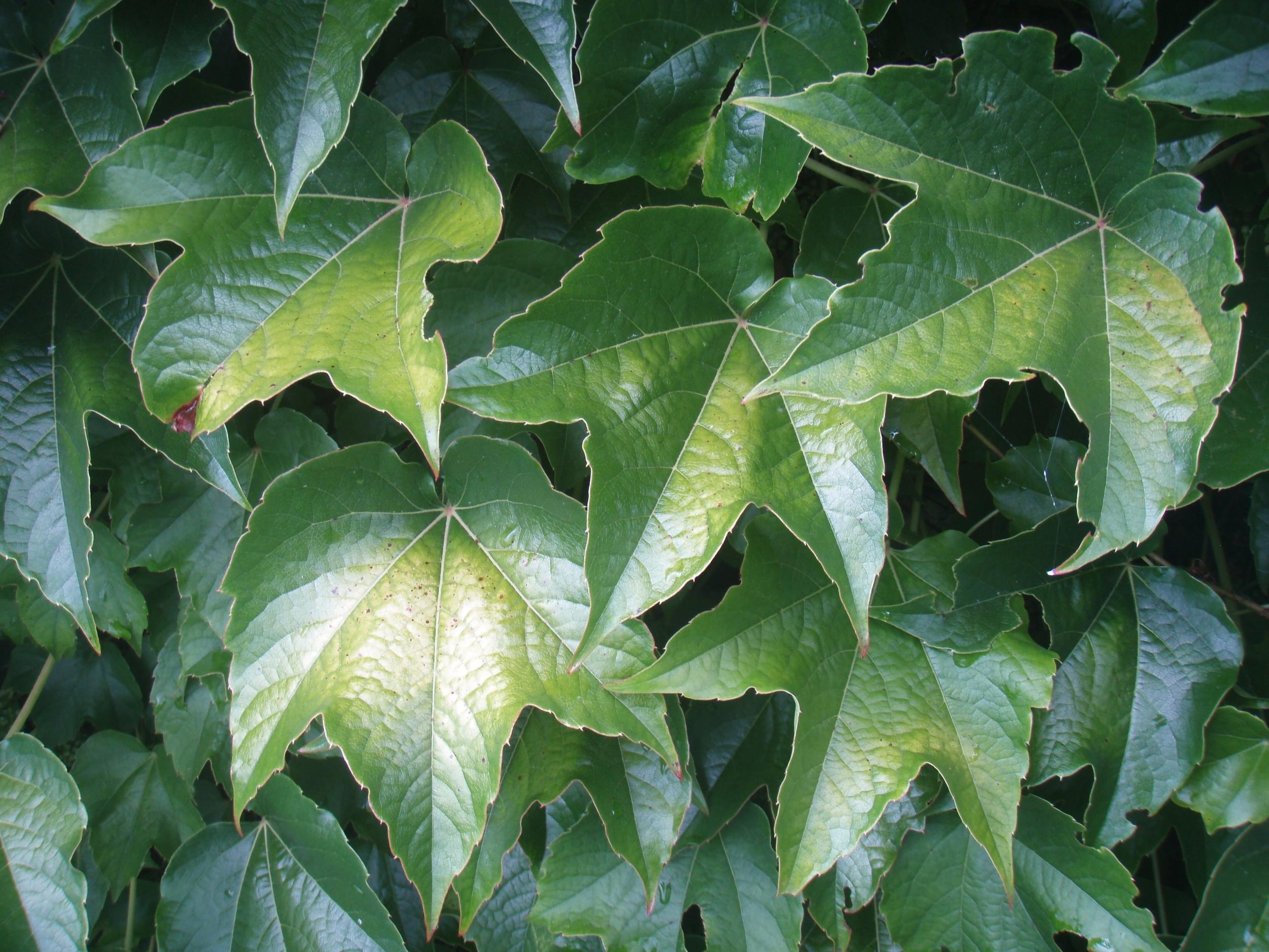 Ruth's ivy.jpg