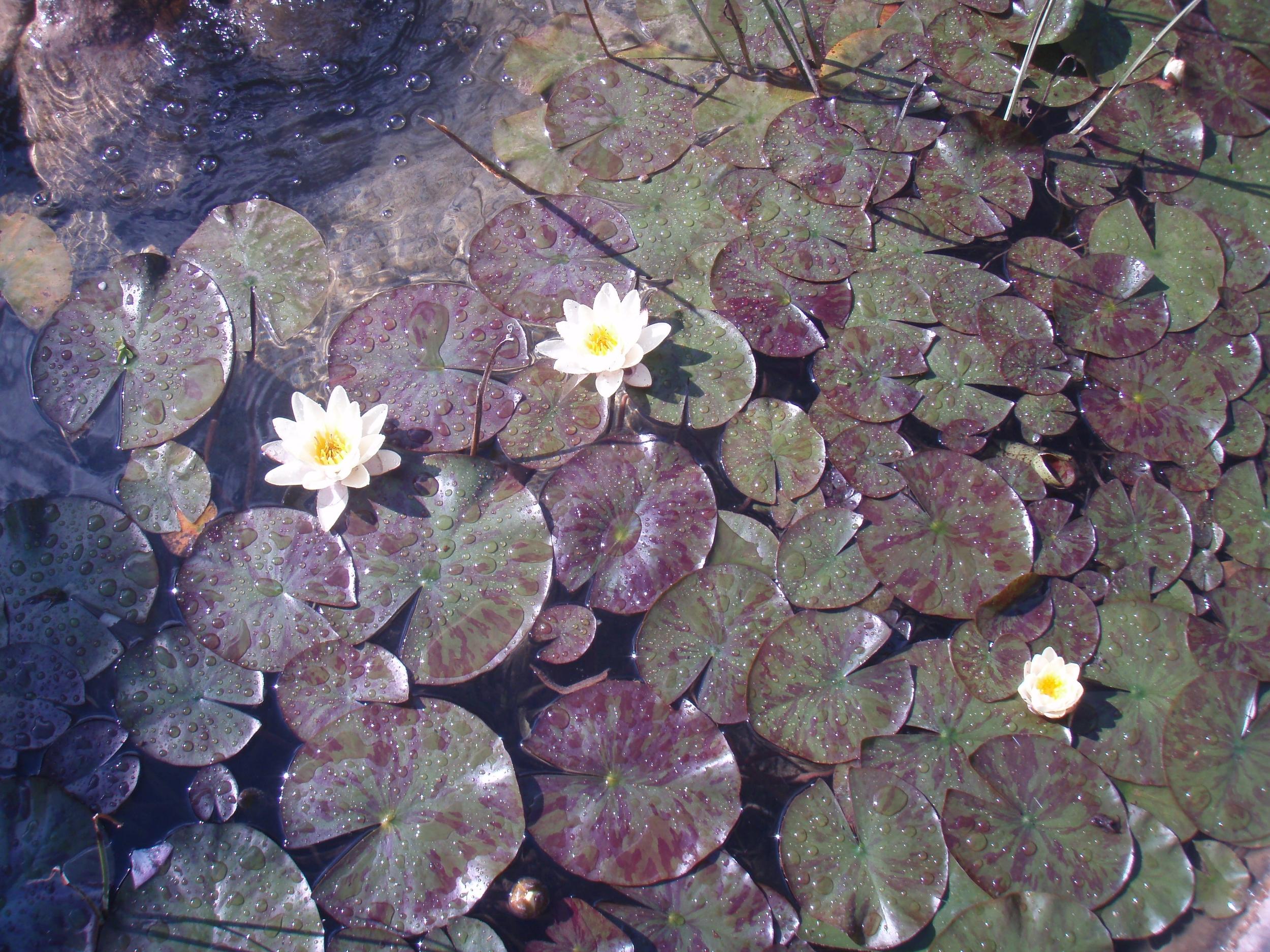 Swiss pond 2007.jpg