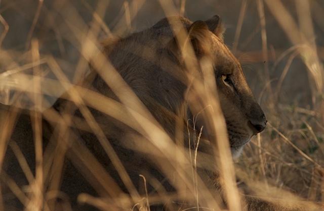 Primal-Pathways-South-Luangwa-Walking-Safari-Young-Lion.jpg