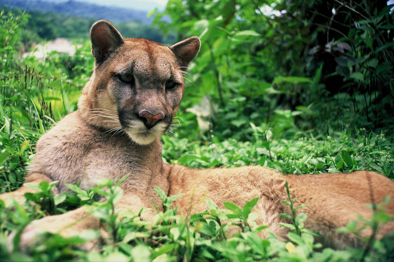 Rehabilitating a puma in the forests of Bolivia