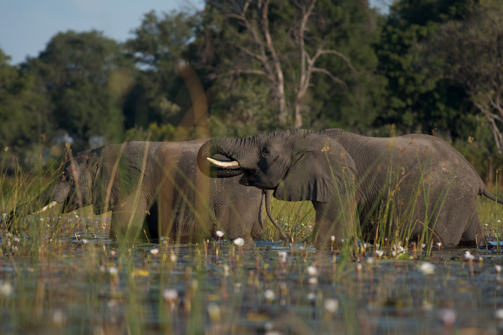 Okavango Delta: in the reeds with elephants