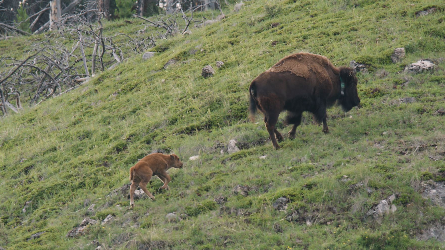 Parks Canada - Banff Bison Re-Introduction Project