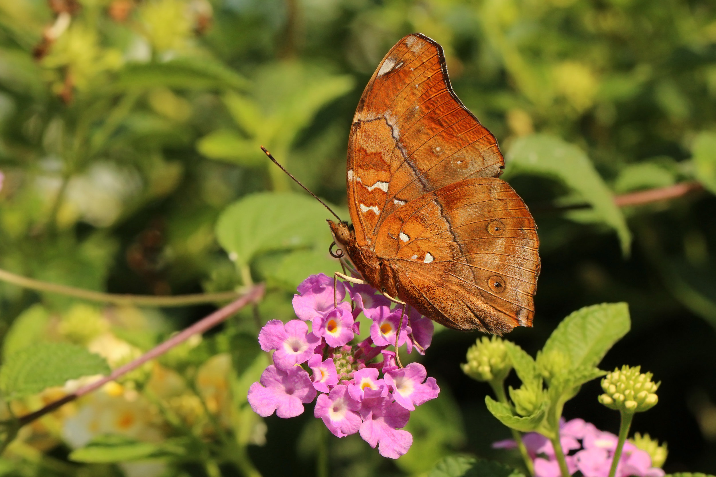 """The Autumn Leaf, a butterfly found in India and some parts of Australia, of the Nymphalid family, the largest family of butterflies. Photo taken in Bali, India and """"Autumn Leaf"""" by Charles Sharp is licensed under  CC BY-SA 4.0"""